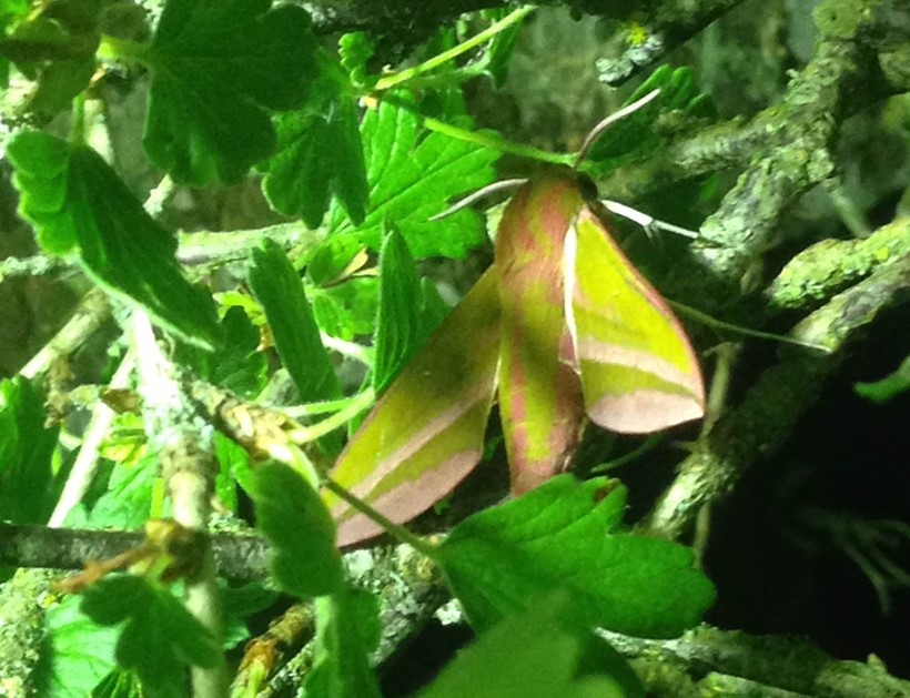 Inline Image - The elephant hawkmoth or Deilephila elpenor