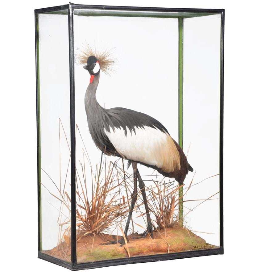 Inline Image - A preserved grey crowned crane, Balearica regulorum, Roland Ward, London, dated 1939 | Sold for £1,375