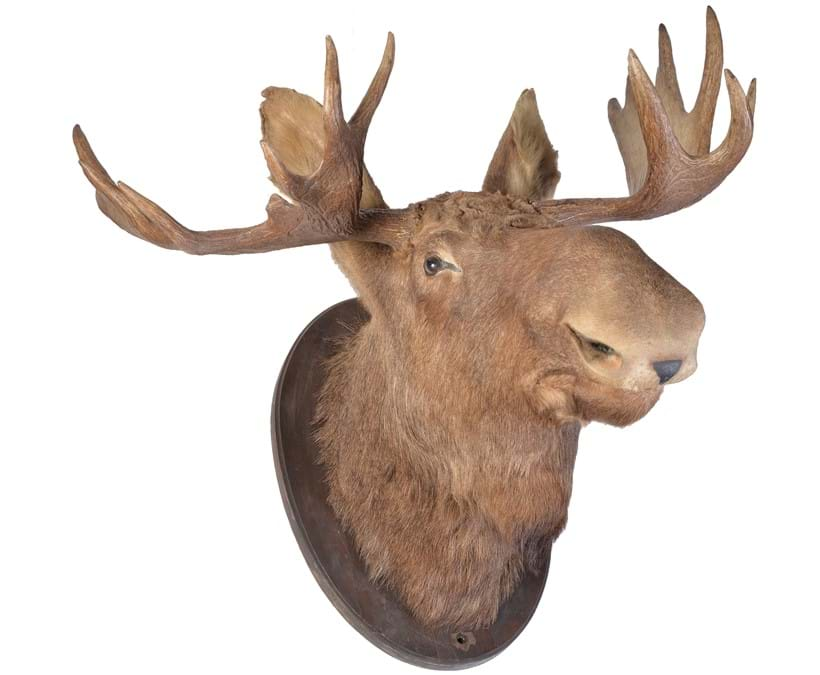 Inline Image - A preserved shoulder mount of a bull elk or moose, Alces Alces, 20th century | Sold for £1,116